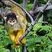 Squirrel monkey mother