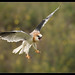 Black-shouldered Kite: Gaining Balance