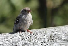 Sparrow- gråsparv
