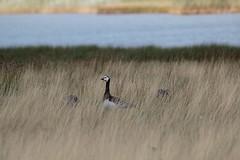Barnacle goose- Vitkindad gås