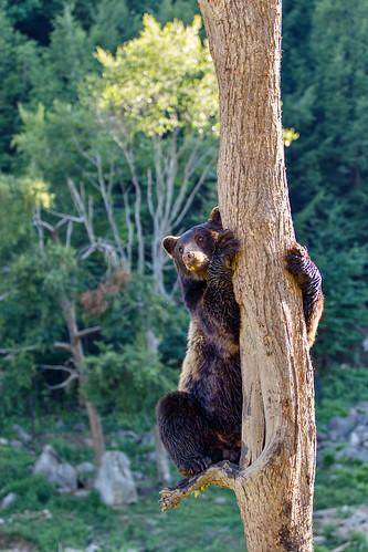Bear Climbing a Tree