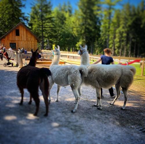 Die drei Lamas (oder sind es doch Alpakas?)
