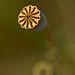 Poppy Seed Capsule
