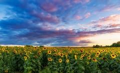 Photo of Sunflowers at Sunset