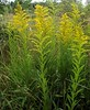 Solidago canadensis (Canadian Goldenrod), Roehyde, Hatfield, Herts, 1.8.20