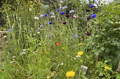 Photo of Cornflowers and some other stuff