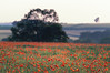 Poppy Fields 5