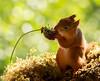 red squirrel holding an allium flower