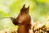 red squirrel holding a allium flower