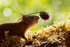 red squirrel looking at a allium flower