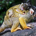Mother squirrel monkey with baby on the back