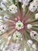 A leek flower very close up
