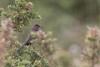 Dartford Warbler-2256