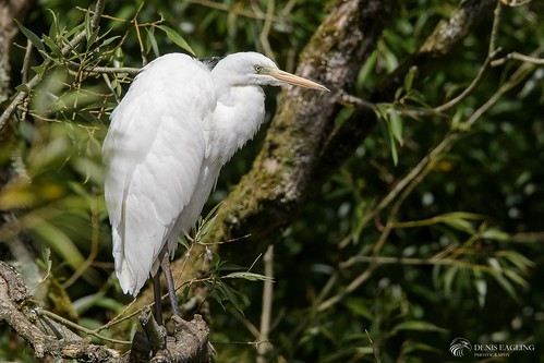 Great whit egret