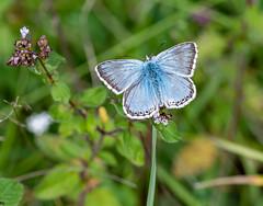 White Hill 02.08.20 Male Chalkhill Blue-1