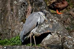 Grey Heron- Gråhäger