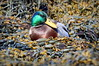 Male Mallard Duck resting on the bladder wrack