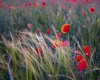 Poppies and grasses-2