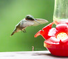 """hummingbird_14 • <a style=""""font-size:0.8em;"""" href=""""http://www.flickr.com/photos/47141623@N05/50189079326/"""" target=""""_blank"""">View on Flickr</a>"""