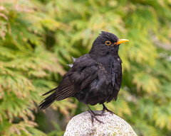 Photo of Blackbird
