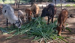 Green feeding of cows on APWOLIM farm