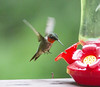 """hummingbird_04 • <a style=""""font-size:0.8em;"""" href=""""http://www.flickr.com/photos/47141623@N05/50189312922/"""" target=""""_blank"""">View on Flickr</a>"""