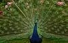 David Austen peacock