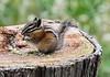 Snacking, on a Stump!