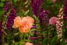 David Austen rose garden