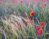 Kwinsford poppies and grasses