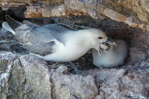 Fulmar feeding its chick
