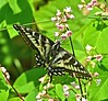Black & Yellow Swallowtail Butterfly