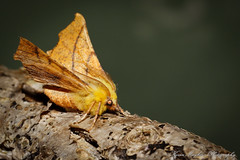 Photo of Canary-shouldered Thorn_82A2926
