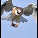 Black-shouldered Kite: Breakfast on the Go