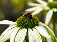Photo of 2020 07 31 - bee on echinacea