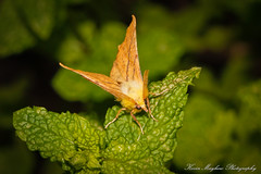 Photo of Canary-shouldered Thorn_82A2940