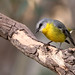 Eastern Yellow Robin (Eopsaltria australis)
