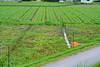生姜畑とスイカ畑