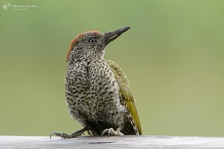 Green Woodpecker - juv.