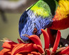 Rainbow Lorikeet eating nectar