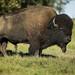Bull Plains Bison