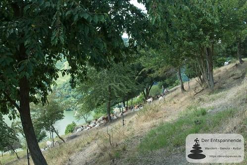 Ziegen schützen vor Verbuschung - Weinwanderung mit Weingut Nies, Lorchhausen