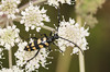 Four-banded Longhorn Beetle - Leptura quadrifasciata