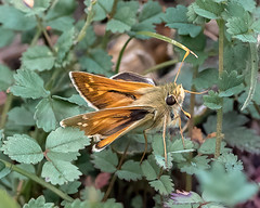Queendown Warren 06.08.20 Silver spotted Skipper 1-1