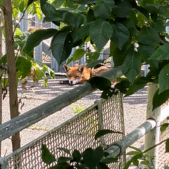 Photo of Found the Fox!