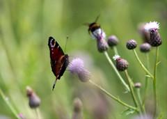 Butterfly- Fjäril