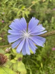 Photo of Chicory