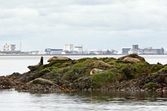 Photo of Seals on the Forth