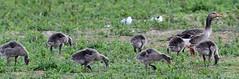 Photo of Greylag Geese