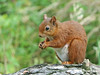 Red Squirrel(Miss)